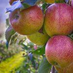 В Горном Алтае восстановят плодово-ягодные сады