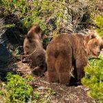 Медведица с медвежатами на солнечном склоне алтайских гор. Фотозарисовка
