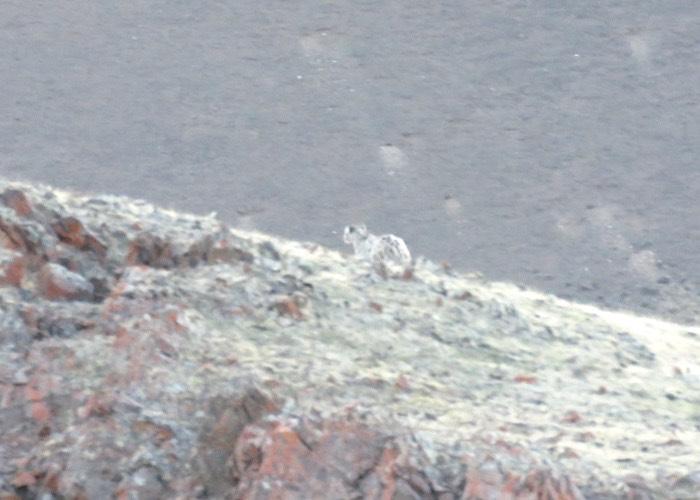 Снежный барс охраняет свою добычу. Фотозарисовка