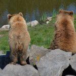 В Чемале подростки сдали властям двух медвежат