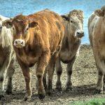 Кража, которую не заметили: жители Шыргайты угнали восемь племенных коров